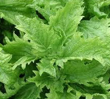 Ocimum-basilicum-Green-ruffles-Basil