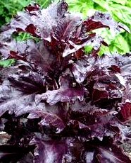 Ocimum-basilicum-Purple-ruffles-basil