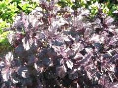 Ocimum-basilicum-purpurascens-Dark-Opal-basil