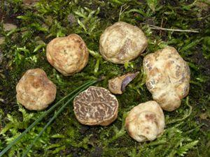 abruzzo tartufi - photo#42