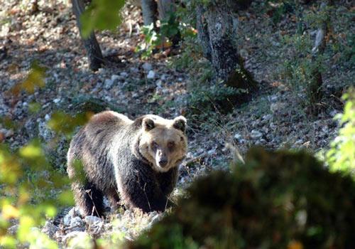 Parco-Nazionale-della-Majella-orso