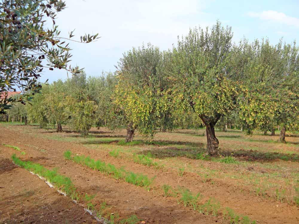 Olive-trees-Abruzzo