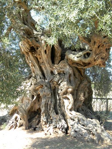 Albero-monumentale-ulivo
