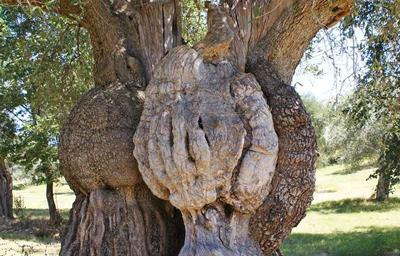 Olivo-monumentale