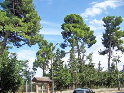 pine-trees-of-square-Martyrs-VI-October-to-Lanciano