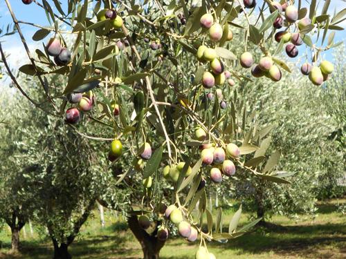 olive-branch-of-kind