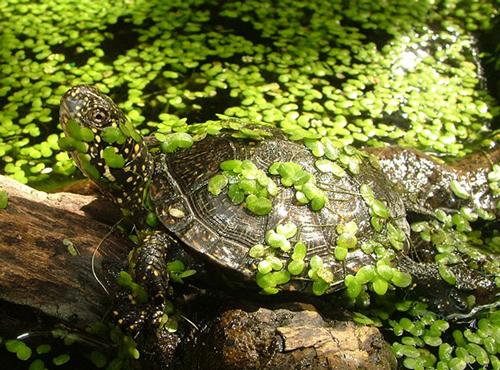 tartaruga-tigrata