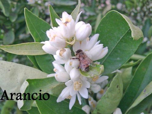 impollinazione-ape-arancio