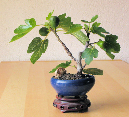 fico bonsai